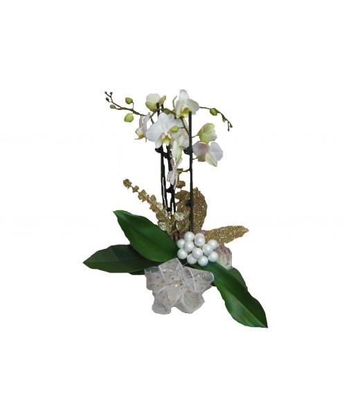 Vánoční phalaenopsis