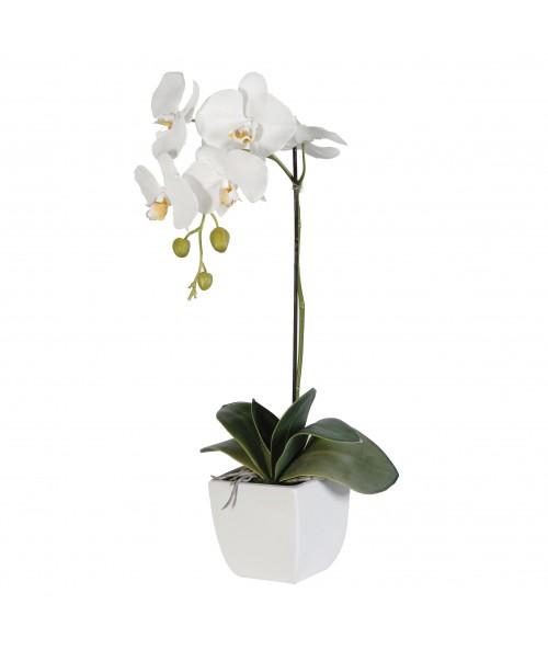 Bílý Phalaenopsis