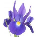 Irisy